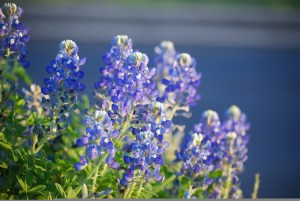 bluebonnets Zach Doty cover photo for SQL COUNT Function