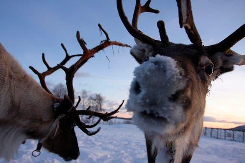 reindeer-nose