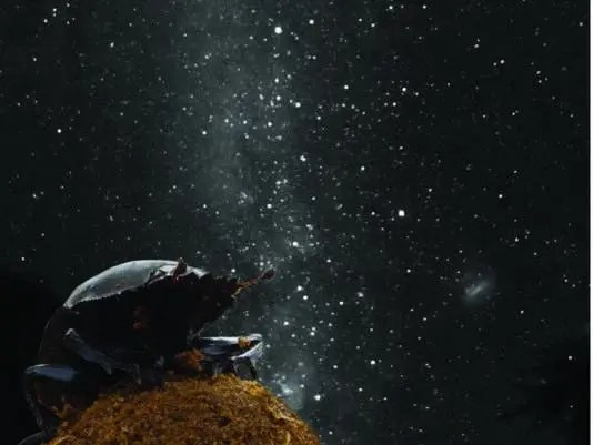 dung beetle milky way