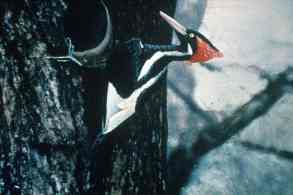 """The Ivory-billed Woodpecker lived in """"virgin forests"""" of the southeastern United states, but there are no longer any virgin forests in that area, and again, a live specimen hasn't been seen for over 50 years."""