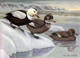 The Labrador Duck was always rare but disappeared between 1850 and 1870. Reports claim it didn't taste good, but was hunted just for the sake of hunting.