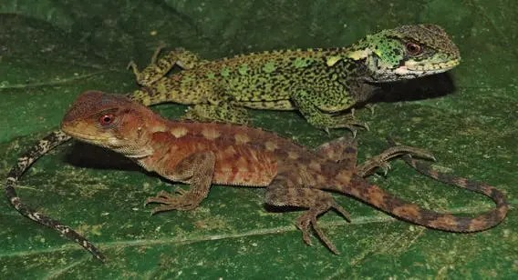 Male and female (duller colored) of Bin Zayed's woodlizard (Enyalioides azulae).