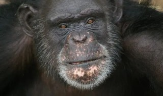 Brent is 37 years old and has lived at Chimp Haven in Keithville, La., since 2006. Brent paints with his tongue.(Photo: Humane Society of the United States)