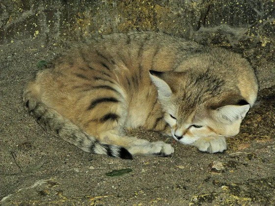 Sand cat at the Zoo in Bristol.
