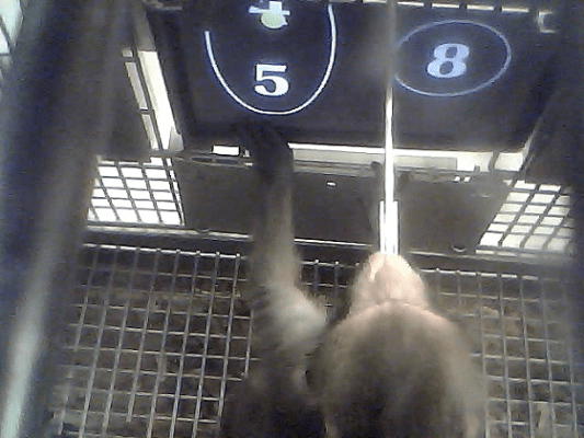 A rhesus monkey preparing to choose the four and five combination on the panel. (c) PNAS