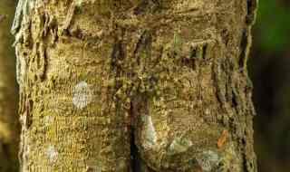 Lichen Spider