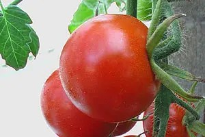 Lycopene is a bright red carotenoid pigment, a phytochemical found not only in tomatoes but also other red fruits. Lycopene absorbs most of the visible light spectrum, and being red in colour, Lycopene reflects mainly red back to the viewer, thus a ripe tomato appears to be Red. Image: Colour Therapy Healing