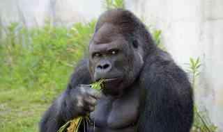 shabani gorill