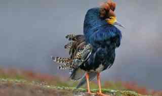 A proud Ruff (Philomachus pugnax) male in breeding plumage. Credit: Pixadeus, bossum