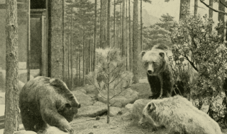 The Mexican grizzly bear became extinct in 1964. Credit: Wikipedia
