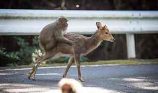 """ There is a close cooperation between macaques and deer on Yakushima island. The deer eat seeds dropped by macaques on the ground, as well as their feces. Macaques may groom the deer for parasites such as lice, which are rich in proteins. At times, macaques will climb on the back of a deer for transportation. They don't travel the kinds of distances humans do on horseback, but the similarity is there,"" said Sueur for Research Gate. Oddly enough, Sueur also witnessed interspecies sexual relations between the Japanese macaques and Sika deer. Photo credit: Alexandre Bonnefoy."