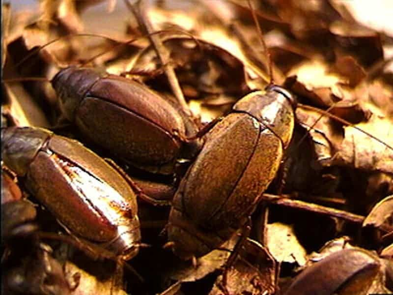The Diploptera punctata cockroaches that produce that unique milk. Credit: University of Toronto