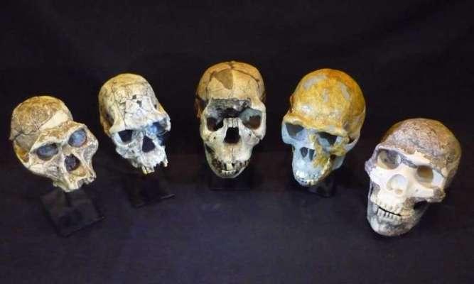 Left to right: Australopithecus afarensis, Homo habilis, Homo ergaster, Homo erectus and Homo neanderthalensis. Credit: Roger Seymour.