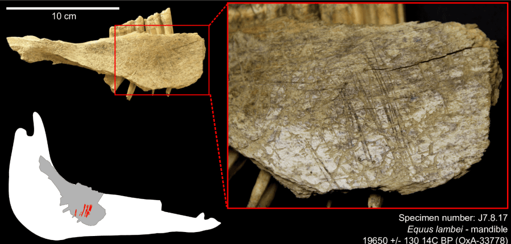 Cut marks on the medial side, under the third and second molars, are associated with the removal of the tongue using a stone tool. Credit: PLOS One.
