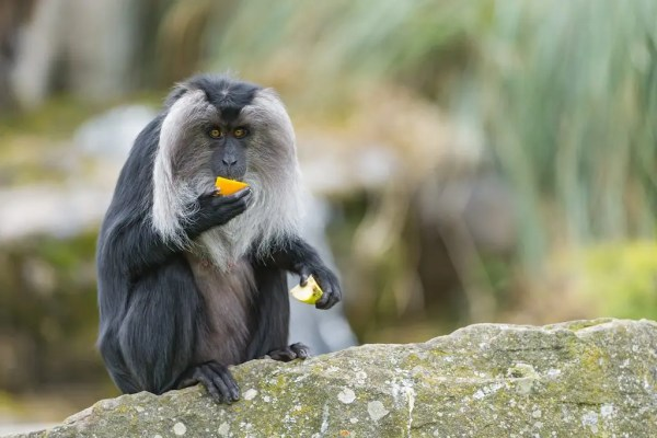 Lion-tail Macaque eating a fruit.
