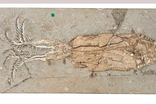 Exceptionally well preserved fossil of Belemnoteuthis antiquus from 166 million years ago. These ancient cephalopods with their large internal shell were not as fast as their recently evolved relatives. Credit: Jonathan Jackson and Zoë Hughes, NHMUK.