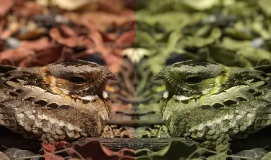 Nightjar bird.