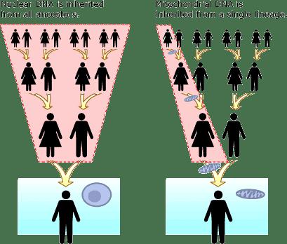 mitochondria inheritance