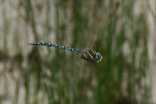 A moorland hawker dragonfly. Credit: Wikimedia Commons.