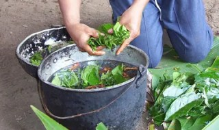 Traditional ayahuasca brewing. Credit: Wikimedia Commons.
