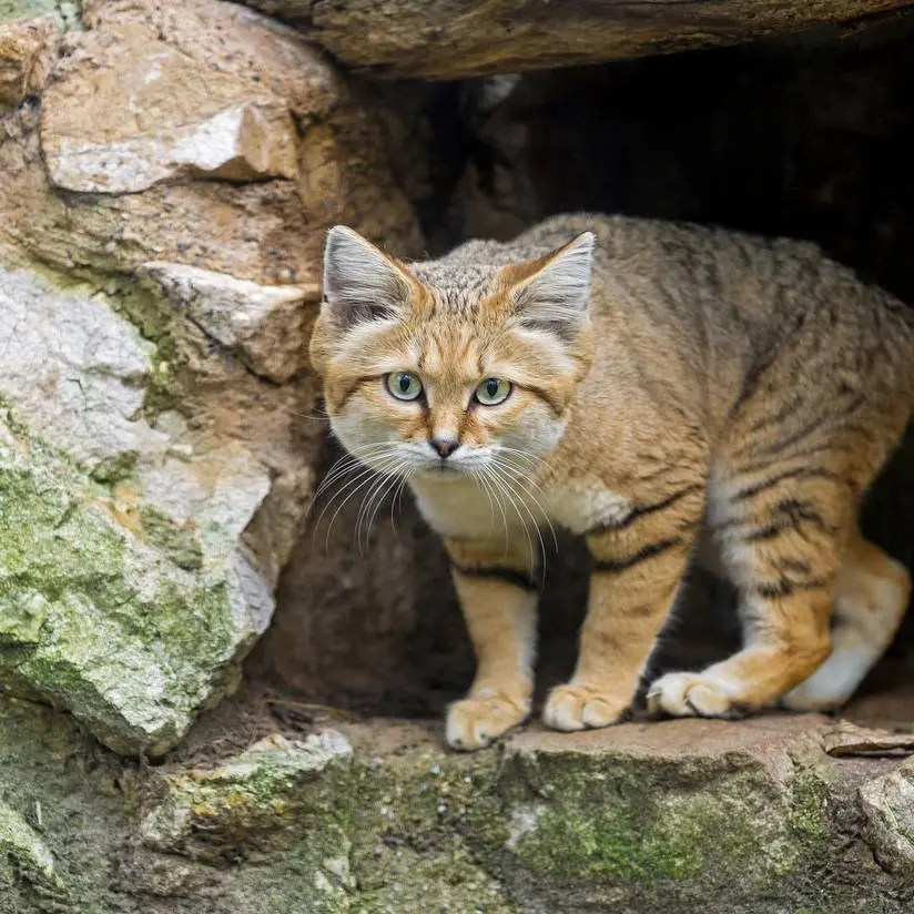 Sand cats can run as fast as 25mph. Credit : Tambako The Jaguar/Flickr.