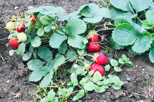 Late strawberries!