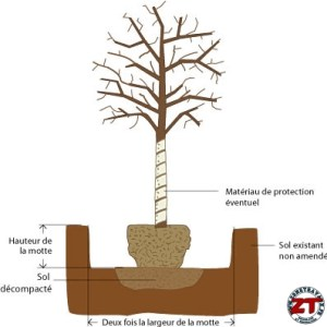 Tutoriel Jardinage : planter un arbre grand (liquidambar)