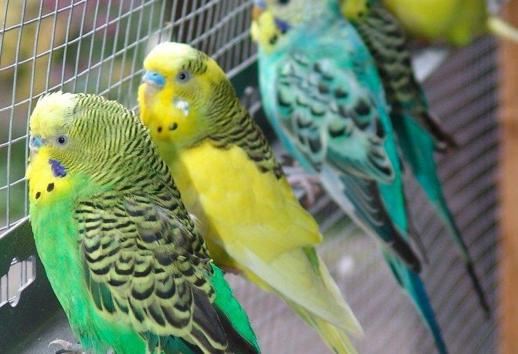 pappagallini australiani