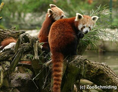 Rote Pandas in Schmiding