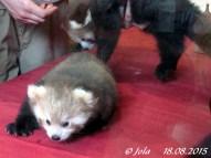 Panda-Zwillinge