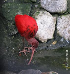 Roter Sichler beim Waschen eines Regenwurmes