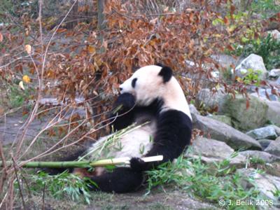 Yang Yang mit ihrem heißgeliebten Bambus