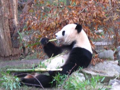 Yang Yang beim Bambus-mampfen