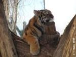 Eines der Tigerzwillinge