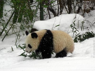 Fu Long im Schnee, 18. Februar 2009