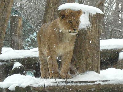 Trotz Schneetreiben waren die Löwenkinder draußen, 18. Februar 2009
