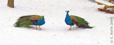Zwei blaue Pfaue, die wir gestört haben ..., 1. Februar 2009