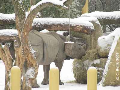 Auch Sundari mampft draußen Heu, 1. Februar 2009