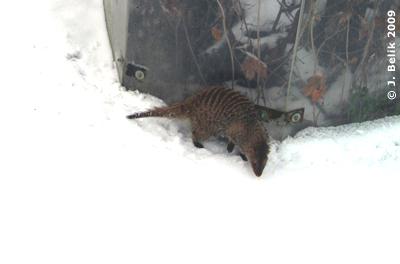 Zebramanguste im Schnee, 31. Januar 2009