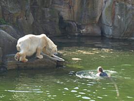 Katjuscha läuft zur Frau im Eisbärengehege ... (Foto: Dagmar Radzick)