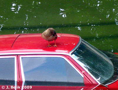 Wenigsten sie hatte Freude mit dem Auto: eine Ente macht es sich auf Auto im Nashornpool bequem, 1. Juli 2009