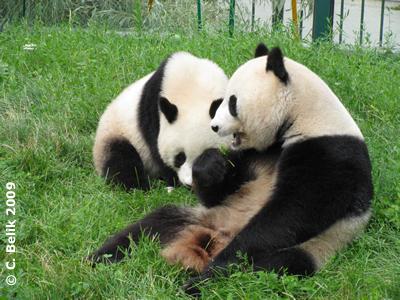 So schlecht schmeckt das Gras auch wieder nicht, Fu Long (li) und Yang Yang (re), 29. Juli 2009