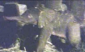 Das Elefantenmädchen kurz nach der Geburt, 6. Juli 2009, Memphis Zoo (Screenshot von Website Memphis Zoo)