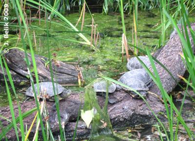 Europäische Sumpfschildkröten, 28. Juli 2009