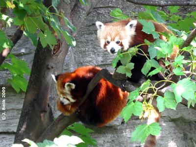 Rote Pandas, 6. August 2009