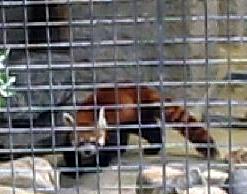 Neuer Roter Panda, 28. Juli 2009