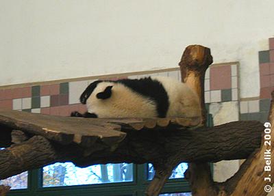 Fu Long, wie ihn die meisten Besucher kennen: er schläft! 30. Oktober 2009