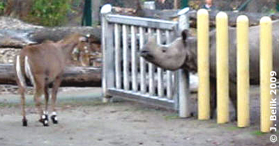 Wie wär's mit der nächsten Runde? Nilgau und Sundari, 19. November 2009