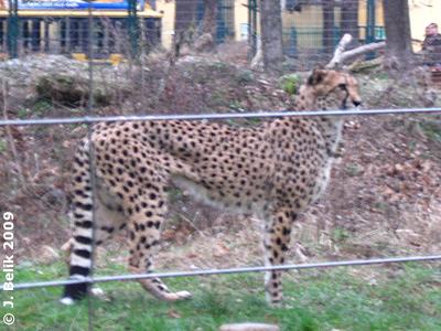 Wann kommt das Futter endlich? Gepard, 29. Dezember 2009