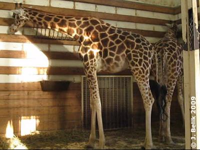 Im Giraffenhaus, 26. Dezember 2009